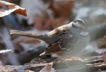 Dead Chief Trail White Throated Sparrow