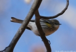 Dead Chief Trail Yellow Rumped Warbler