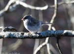 Peak Trail Slate Junco
