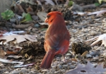 Arlington Lawn Male Cardinal