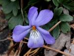 Goat Rock Trail Bird-Foot Violet