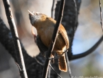 Lower Dogwood Trail Carolina Wren