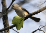 Promenade Tufted Titmouse