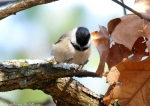 Hot Springs Mountain Top Black Capped Chickadee