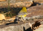 Hot Springs Mountain Top Pine Warbler