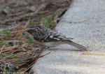 Hot Springs Mountain Top Brown Creeper