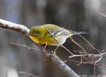 Peak Trail Pine Warbler