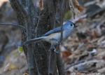 Peak Trail Black Tufted Titmouse