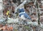 HSNP Ricks Pond Belted Kingfisher
