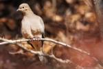 West Mountain Oak Trail Mourning Dove