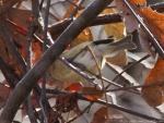 West Mountain Oak Trail Orange Crowned Warbler