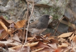 Goat Rock Trail Dark Eyed Junco