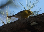 Dead Chief Trails Pine Warbler