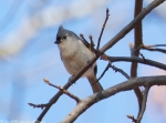 North Mountain Loop Tufted Titmouse