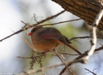 Hot Springs Mountain Top Female Cardinal