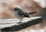 Hot Springs Mountain Top Northern Mockingbird
