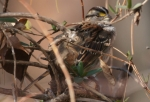 Hot Springs Mountain Trail white Throated Sparrow