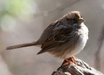 Short Cut Trail White Throated Sparrow