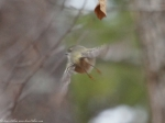 Hot Springs Mountain Trail Orange Crowned Warbler