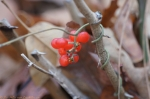 Dead Chief Trail Winter Berries