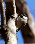 Lower Dogwood Trail Black-Capped Chickadee