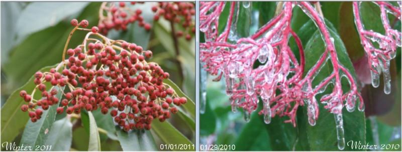 Tufa Terrace Tree Winter 2010 and Winter 2011