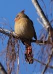 Promenade Female Cardinal