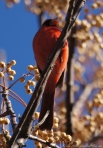 Tufa Terrace Male Cardinal