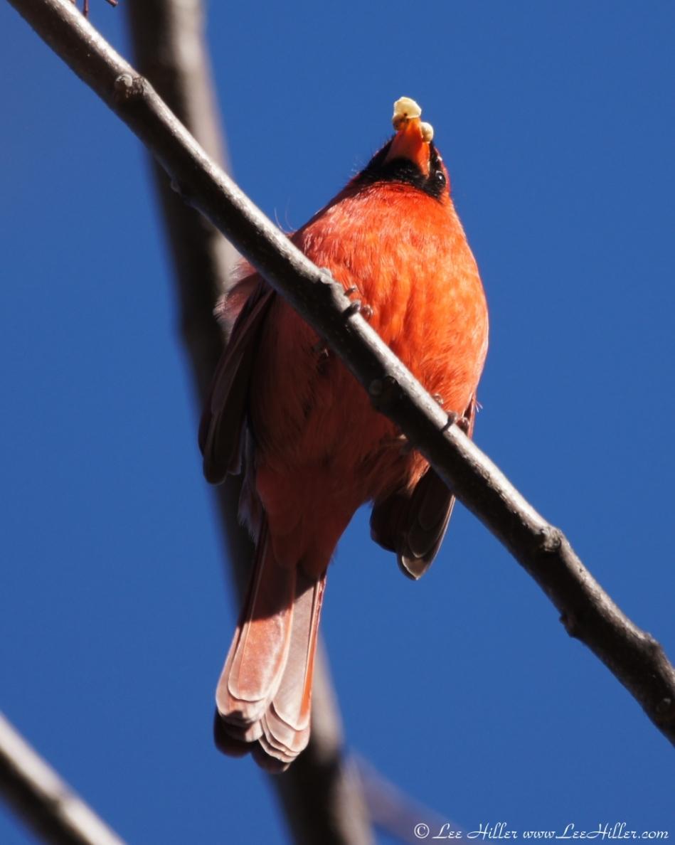 Tufa Terrace Male Cardinal