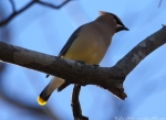 LCSP Horseshoe Mountain Cedar Waxwing