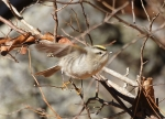 LCSP Horseshoe Mountain Golden Crowned Kinglet