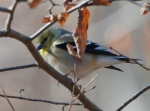 LCSP Horseshoe Mountain American Goldfinch