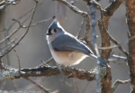 LCSP Horseshoe Mountain Tufted Titmouse