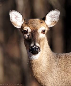 LCSP Horseshoe Mountain Whitetail Deer