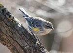 LCSP Horseshoe Mountain Yellow-Rumped Warbler