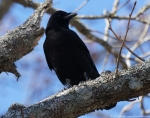 Lake Catherine State Park Crow