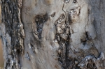 Dead Chief Trail Tree Bark