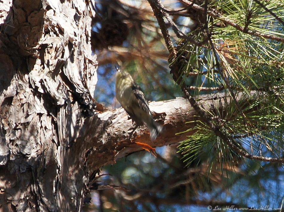 Lower Dogwood Trail American Finch