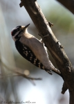 Short Cut Trail Male Downy Woodpecker