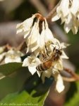 Tufa Terrace Flowering Bush Honey Bee