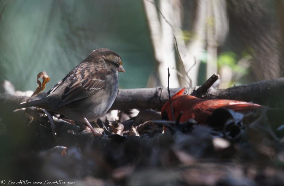 Tufa Terrace Sparrow Watching a Male Cardinal
