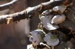 Upper Dogwood Trail Fungi
