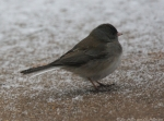 Hot Springs Mountain Top Female Junco
