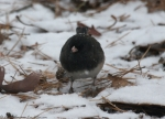Hot Springs Mountain Top Slate Junco