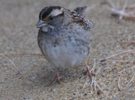 Hot Springs Mountain Top White-Throated Sparrow