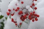 Dead Chief Trail Winter Berries in the Snow
