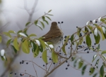 Hot Springs Mountain Trail Hermit Thrush