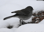 Hot Springs Mountain Trail Junco