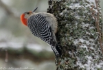 Hot Springs Mountain Trail Male Red-Bellied Woodpecker