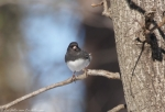 West Mountain Oak Trail Junco